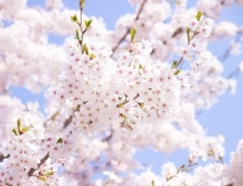 Japan Travel Expert - Cherry Blossom Japan 14 Days