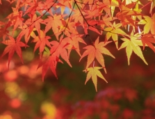 Japan Travel Specialist - Autumn Leaves