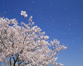 Japan holiday packages - Cherry Blossom -sakura