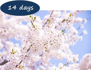 Japan Cherry Blossom Holiday Packages - Cherry blossom Japan 14 days