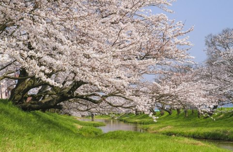 Hidden Cherry Blossom Northern Japan 14 days