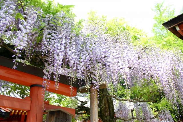 wisteria - Flower and Garden 11 day Private escorted tour of Japan